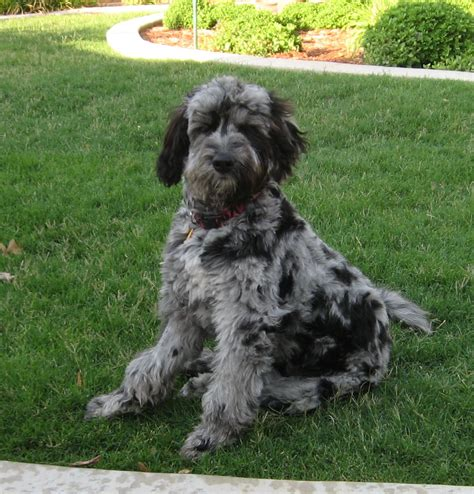 puppies in washington aussiedoodle breeders in washington breeds picture