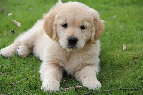 golden retriever grass white golden retriever puppy sitting on grass