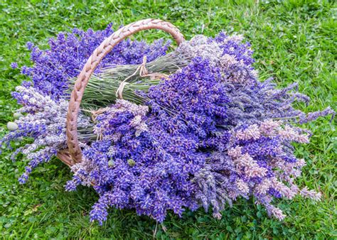 Most Fragrant Lavender Plants - strongest scented english lavender varieties