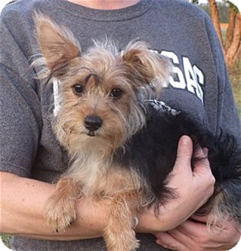 yorkie rochester ny lester adopted puppy rochester ny yorkie terrier