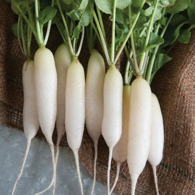 Ripped List White Rawis white icicle top radish seed johnny s selected seeds