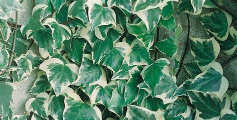 piante da interni poca luce piante per appartamenti con poca luce scopri quali sceglier