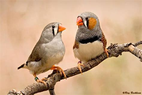 it s not just the genes zebra finches show love is