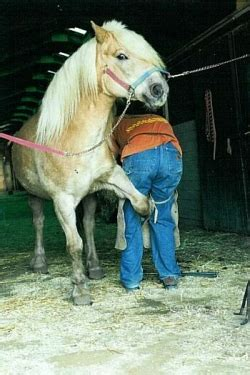 aaron uses his nippers to trim the pony's hooves so that