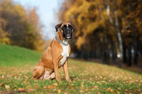 about dogs facts about boxer dogs pet care facts