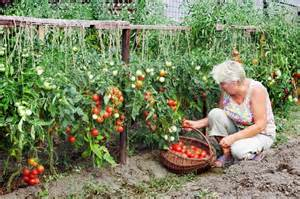 home kitchen garden design uprawa pomidor 243 w w gruncie