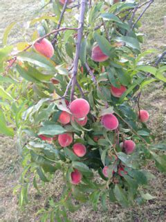 backyard peach tree peach crumb bars wishes and dishes