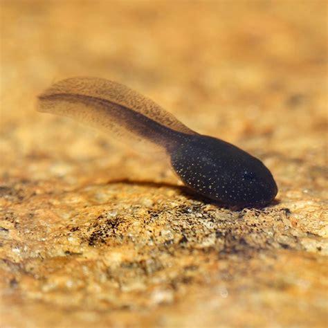 images of tadpoles early tadpoles carolina