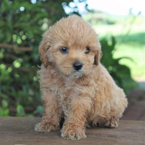 cocker spaniel poodle mix puppies poodle mixes for sale indiana photo