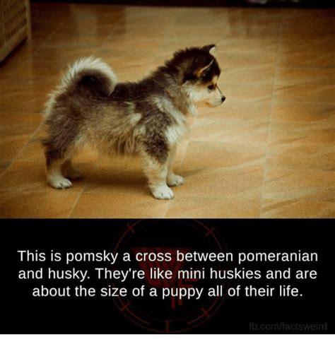 cross between a husky and a pomeranian search pomeranian memes on me me