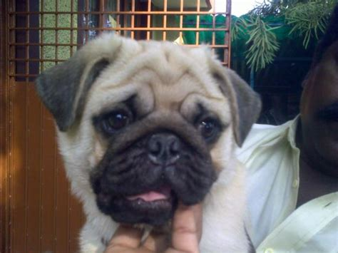 pug for sale in bangalore pugpugpug pug do you if a the average pug can travel in the cabin of