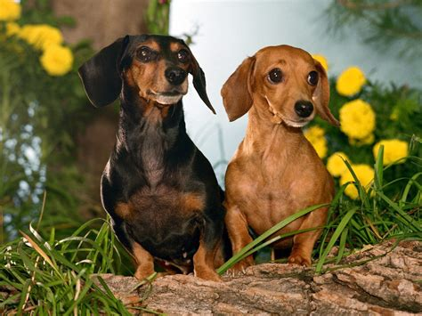 decke hund dachshunds images dachshunds hd wallpaper and background