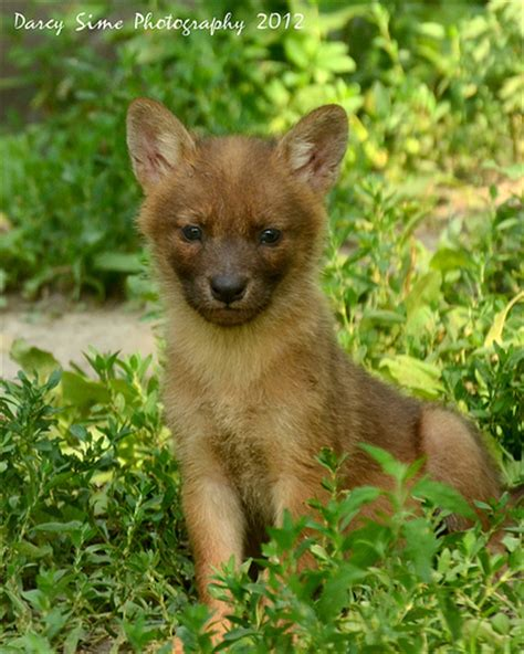 dhole puppy dhole puppy flickr photo