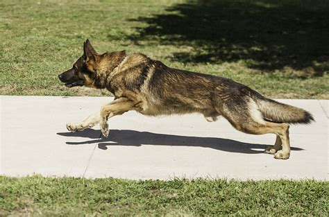 how fast can dogs run how fast can a run how fast can a run