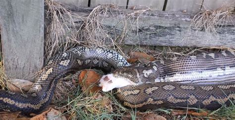 snake eats puppy deadly python made a neighbourhood moggie into his lunch swallowing it whole