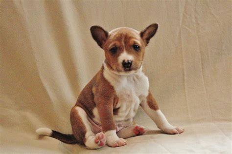 basenji puppies for sale in florida do basenji dogs shed 28 images are affenpinschers hypoallergenic and do