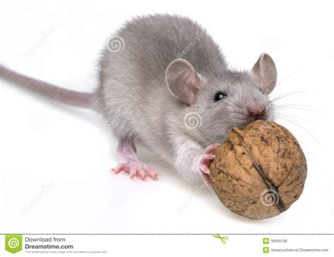 Would You Eat A Rat by A Mouse A Nut Royalty Free Stock Image Image