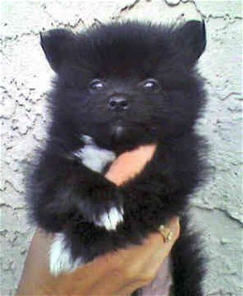 teddy pomeranian rescue ideas pomeranians and pomeranian rescue on