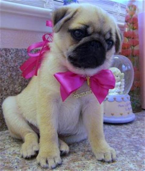 pug puppies for sale dublin pug sale ireland pug puppies buy buy pug breeders pug dogs breed pug dogs for adoption