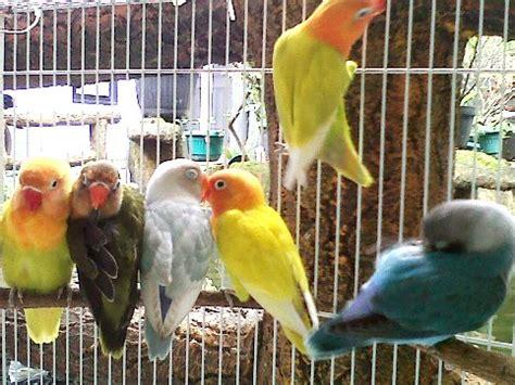 Harga Pakan Burung Pleci Import burung lovebird ring bbf kiosburung