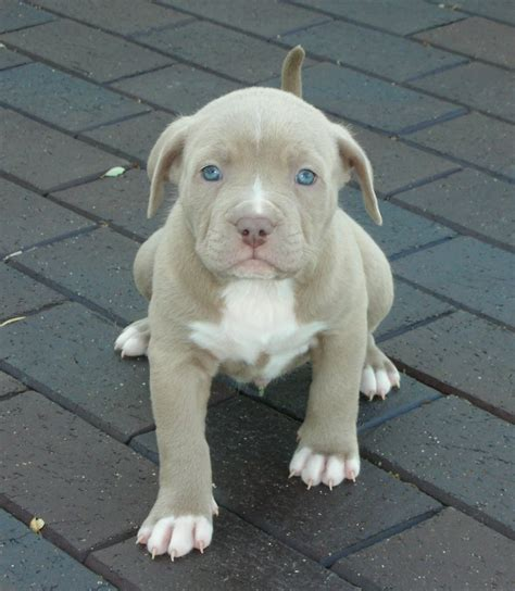 blue pit puppies pitbull blue
