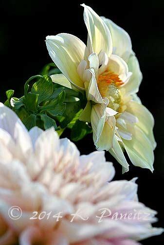 Dahlia Apple kaseys korner apple garland dahlia apple blossom
