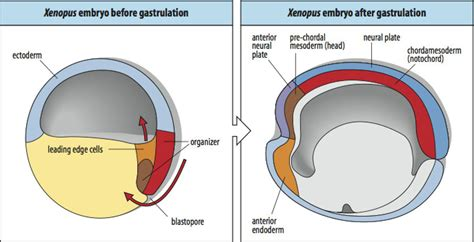 define fold induction define induction in embryology 28 images induction define induction at dictionarycom