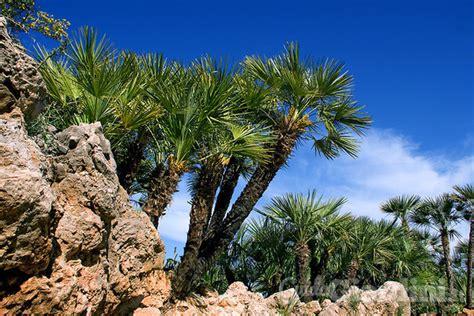 tipi di palme da giardino palme cycas cocos come curare le piante esotiche