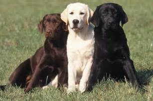 american color labs meet the breed the labrador retriever baxterboo