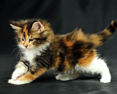 ruhige katzenrassen wohnung 1280 x 1024 maine coon tricolor kitten wunderbare wohnung