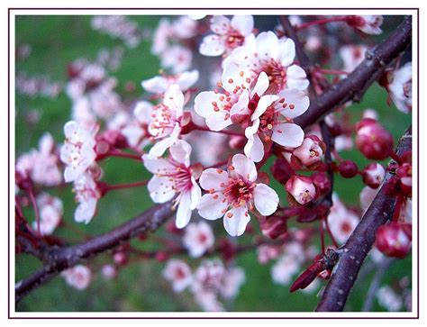 flowering plum this tree blossoms with these sweet pink petals in march and then drops them to