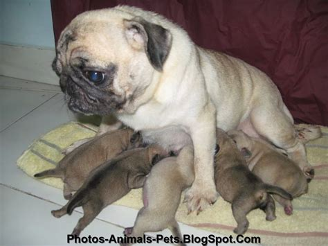 images of pugs puppies pug fish fish breeds picture