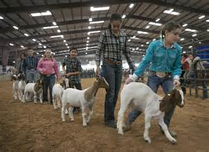 Livestock Show Youths Participate In The Hays County Livestock Show And