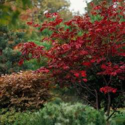 810 best japanese maples images on pinterest japanese maple acer palmatum and japanese maple