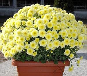 crisantemi fiori dei morti almanacco di lunedi 2 novembre