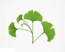 china gingko biloba leaves powder china gingko biloba