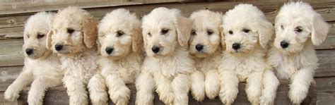 how much are labradoodle puppies kimberlenes labradoodle britain s premiere labradoodle breeders