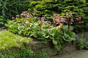Summer Flowers Arrangements - bergenia cordifolia heartleaf bergenia