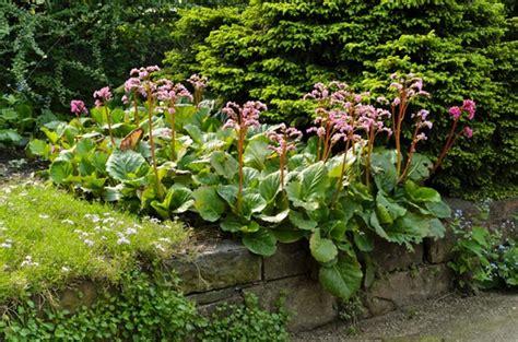 bergenia cordifolia heartleaf bergenia