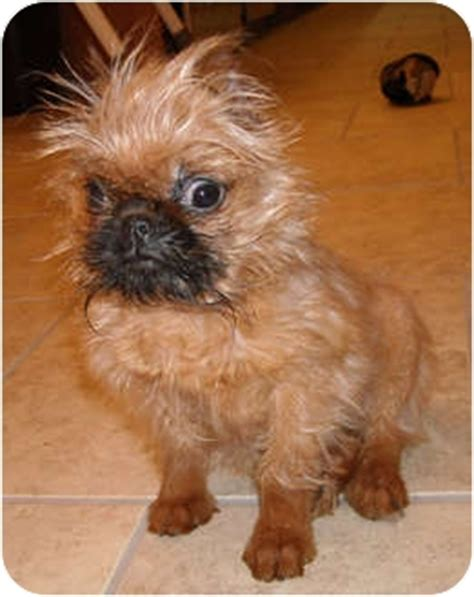 sprout in ky. | adopted puppy | linden, va | brussels griffon