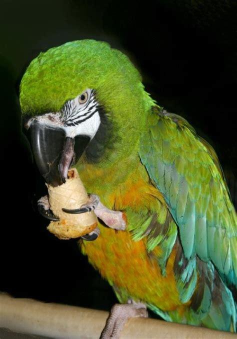 17 best images about best parrots healthy recipe birdie