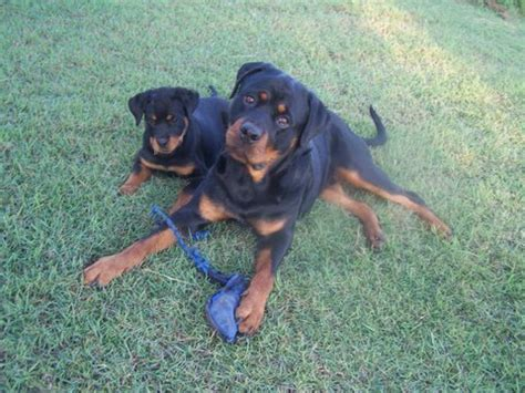 rottweiler knee problems different ages and stages of rottweiler coalfire rottweilers