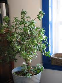 Flowering Jade Plants - jade plant pictures news information from the web
