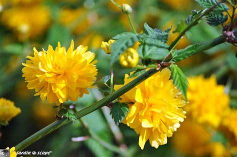 Arbuste Fleurs Jaunes Qui Fleurit Printemps by Scenery Pictures Arbuste De Printemps Fleurs Jaunes