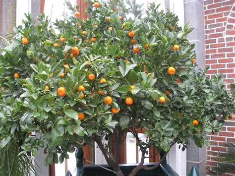 Patio Orange Tree by I Would A Navel Orange Tree Every Where I Look