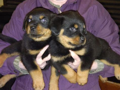 rottweiler puppies vermont rottweiler puppies