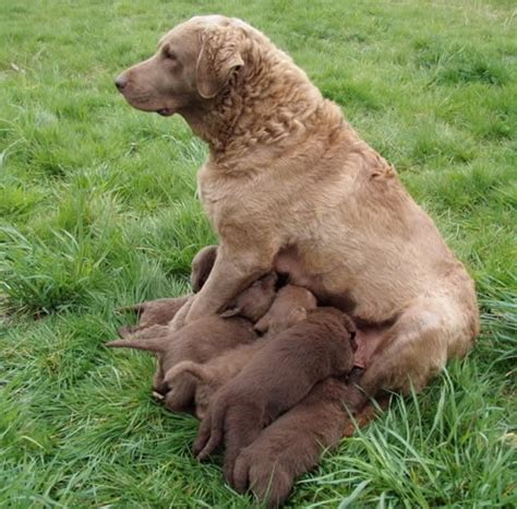 chesapeake bay retriever puppies for sale akc chesapeake bay retriever puppies for sale farnell farm purebred breeds picture