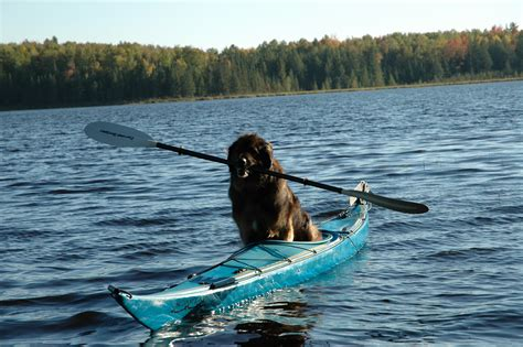 canoeing with dogs canoe sporty dogs the o jays link and kayaks