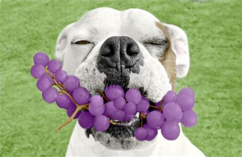 grapes for dogs what s not so fruity for dogs library voices