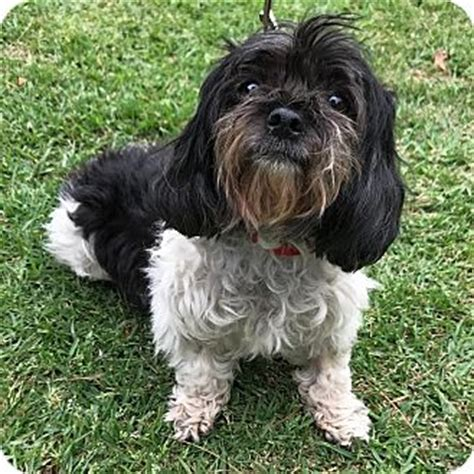 shih tzu rescue los angeles los angeles ca shih tzu mix meet kashi a for adoption